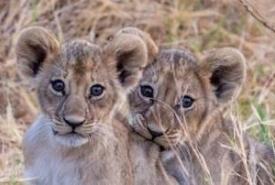 st-cubs