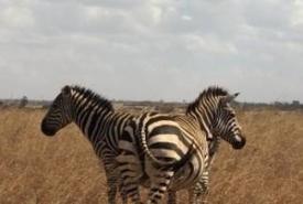 st-zebra